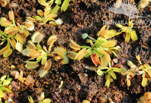 Венерина мухоловка из семян