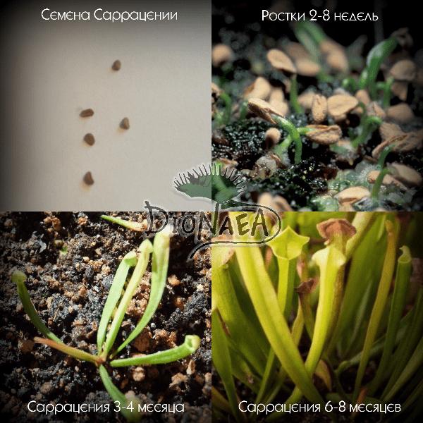Семена саррацении