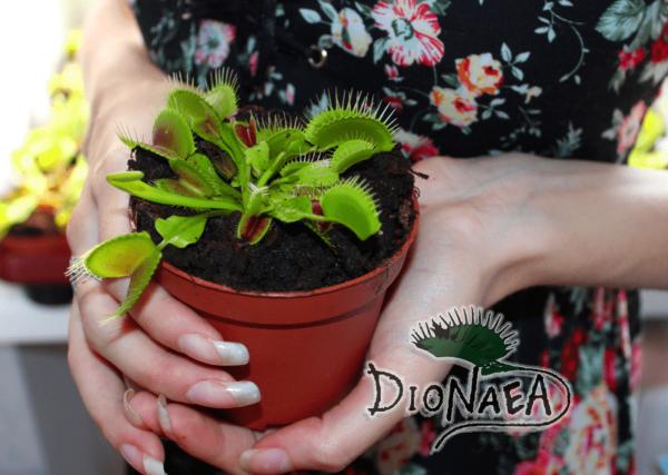 Взрослое растение Венерина Мухоловка