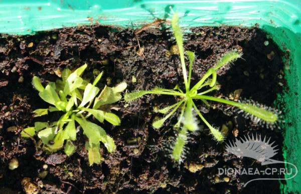 Набор для выращивания хищных растений