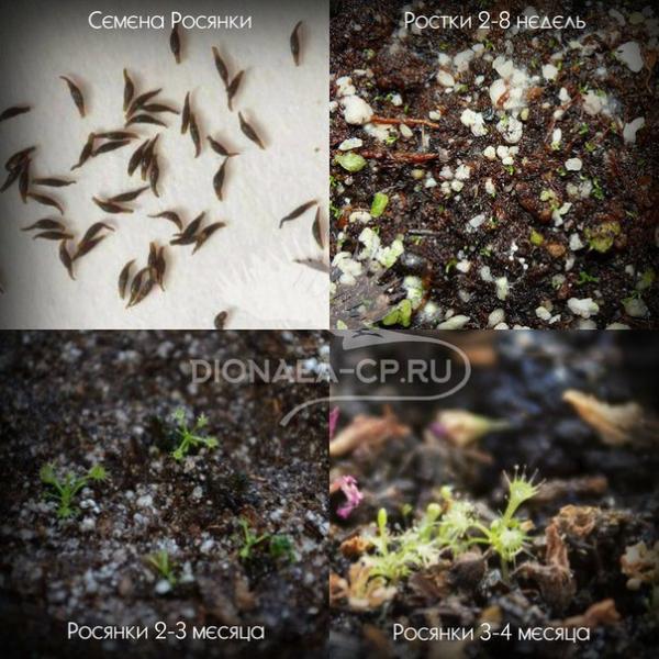 Семена росянки из набора хищный сад