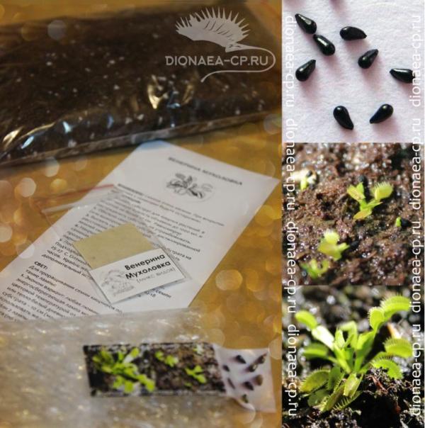 Семена из набора для выращивания Венериной мухоловки