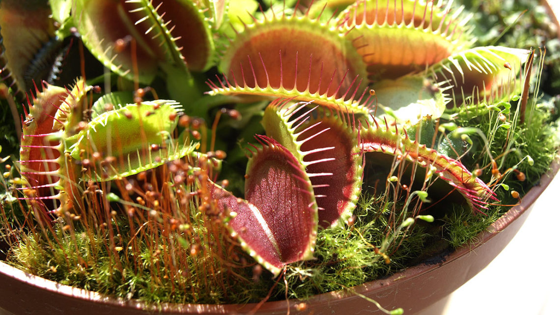 Dionaea muscipula (Венерина мухоловка) — уход, описание и содержание