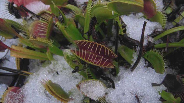 Зимовка хищных растений в холодильнике