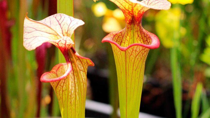 Sarracenia (Саррацения) — уход, описание и содержание