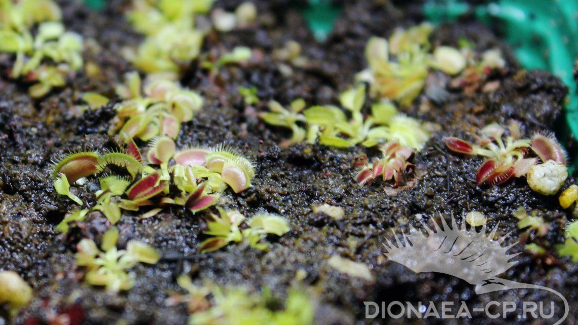 Выращивание Хищных растений из семян
