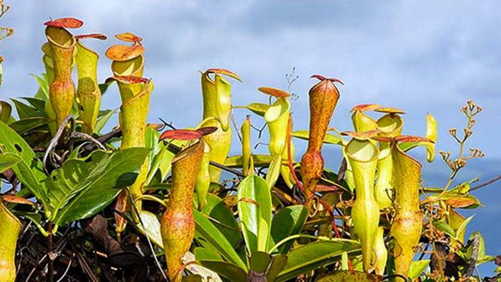 Nepenthes (Непентес) — уход, описание и содержание